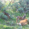 Mother deer and brand new fawns. Came upon the mother and young moments after birth and watched for about 3 hours. Fawns could not stand when I found the 3 and mom was still cleaning herself and the fawns.