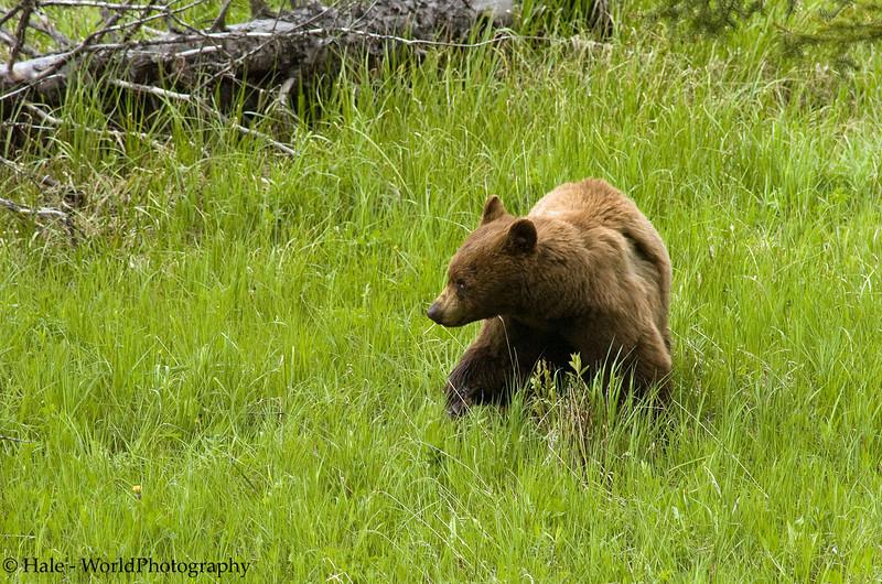 A Cinnamon Colored Black Bear Boar Keeps An Eye On A Nearby Female Bear