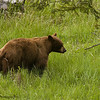 A Cinnamon Colored Black Bear Boar, Ursus americanus, Strutting For A Nearby Sow