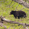 Black Bear Sow Near Petrified Tree In Yellowstone National Park