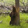 Black Bear Boar, Ursus americanus, Enjoying A Good Back Rub Break From His Courting Activities