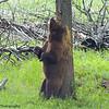 Ursus americanus, black bear, Boar In The Midst of Tree Rubbing