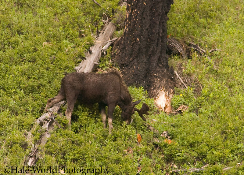 Young Bull Moose, Alces alces, Feasting Upon Spring Plants Near Petrified Tree, Yellowstone National Park
