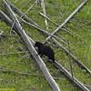 Ursus americanus, Black Bear Sow In Estrus At Petrified Tree