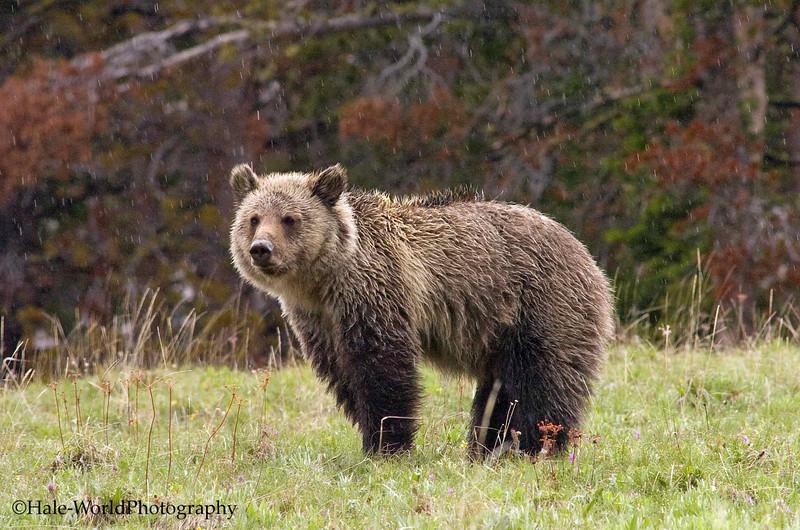 Grizzly Bear, Ursus arctos horribilius, Standing In The Rain Atop Dunraven Pass, Yellowstone National Park