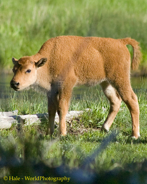 Young Bison Calf, Yellowstone National Park