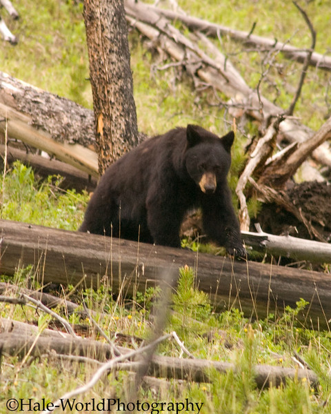 Ursus americanus, Black Bear Sow In Estrus At Petrified Tree In Yellowstone National Park