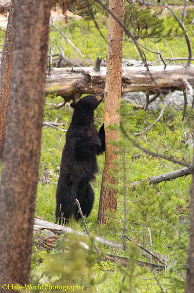 Ursus americanus, Black Bear, Checking Out A Tree For Back Scratching