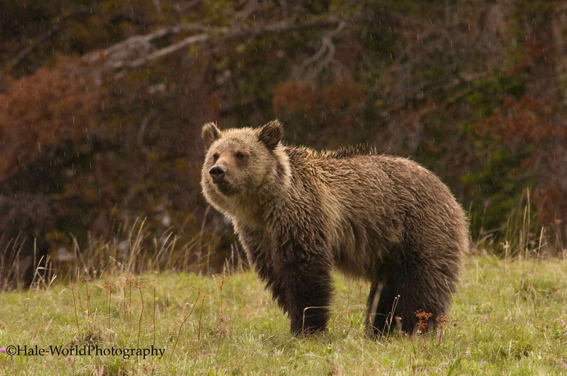 Grizzly Bear Out In The Rain On A Late June Afternoon, Yellowstone National Park