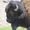 Bison profile. Gibbon River North of Madison Junction.