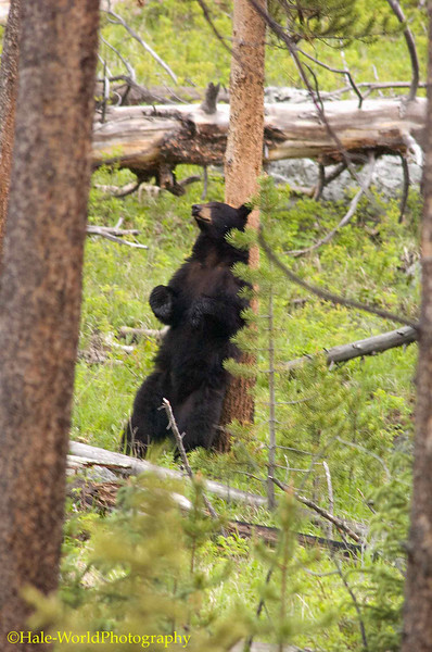 Black Bear, Ursus americanus, Sow Rubbing Back on a Tree, Yellowstone National Park