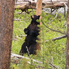 Black Bear, Ursus americanus, Sow Rubbing Back on a Tree, Yellowstone National Park