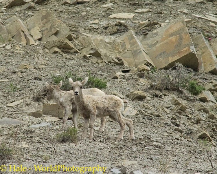 Baby Big Horn Sheep, Ovis canadensis canadensis,  Making Their Way Back To The Herd, Yellowstone National Park North Entrance