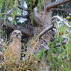 Young Great Horned Owl near Mammoth Hot Springs Visitor Center.   Note Mom to the Right