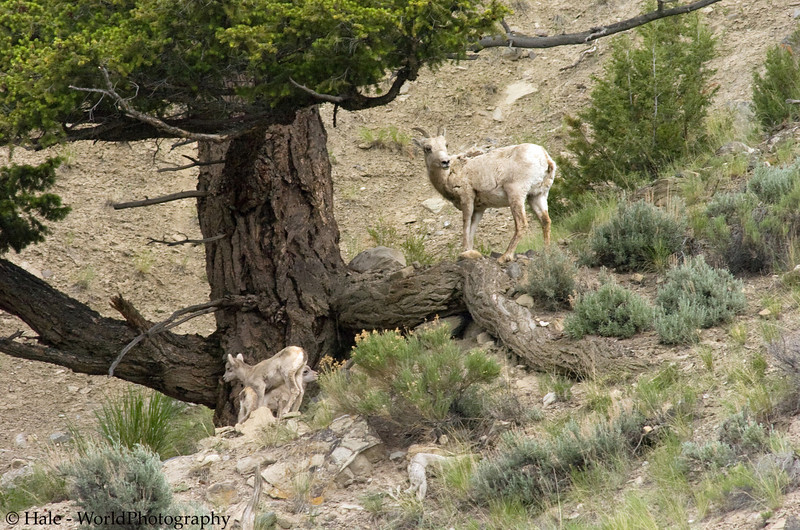 A Big Horn Sheep Mother, Ovis canadensis canadensis, and Her Kid, Yellowstone National Park