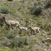 Big Horn Ewe Leads Kids Across the Slope Towards the Herd, Yellowstone National Park
