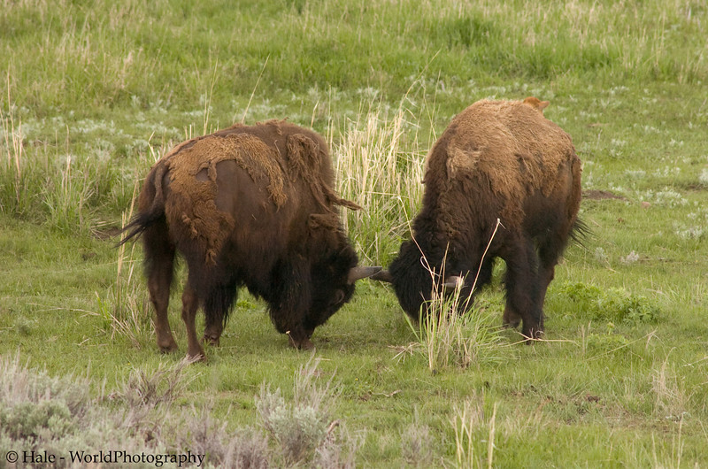Two Young Bison Bulls, Bison bison, Square Off in yellowstone National Park
