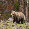 Grizzly Bear, Ursus arctos horribilius, In The Rain Atop Dunraven Pass, Yellowstone National Park