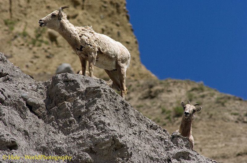 Two Big Horn Sheep Ewes Atop An Outcrop On A Cliff, Yellowstone National Park