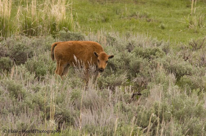 Bison Calf, Bison bison, on the Grasslands of the Lamar Valley