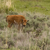 Bison Calf, Bison bison, on the Grasslands of the Lamar Valley