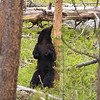 Black Bear, Ursus americanus, Enjoying A Good Back Rub Against A Tree