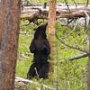 Black Bear, Ursus americanus, Enjoying A Good Back Rub Against A Tree