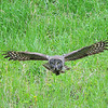 Great Grey Owl hunting. East of Mammoth Hot Springs.