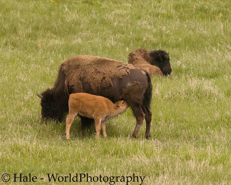 Bison Calf, Bison bison, Nurses on the Grasslands of the Lamar Valley