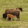 Bison Calf, Bison bison, Nurses on the Grasslands of the Lamar Valley