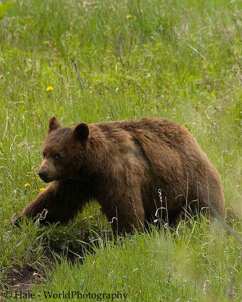 Cinnamon Colored Black Bear Moving Along A Trail, Yellowstone National Park