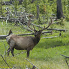A Majestic Bull Elk, Cervus Canadensis, Surveying His Surroundings In The Lamar Valley