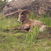 A Big Horn Sheep, Ovis canadensis canadensis, Ram Sitting Out A Rainy Day