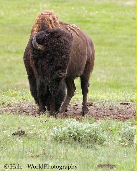Lamar Valley Bison On Alert