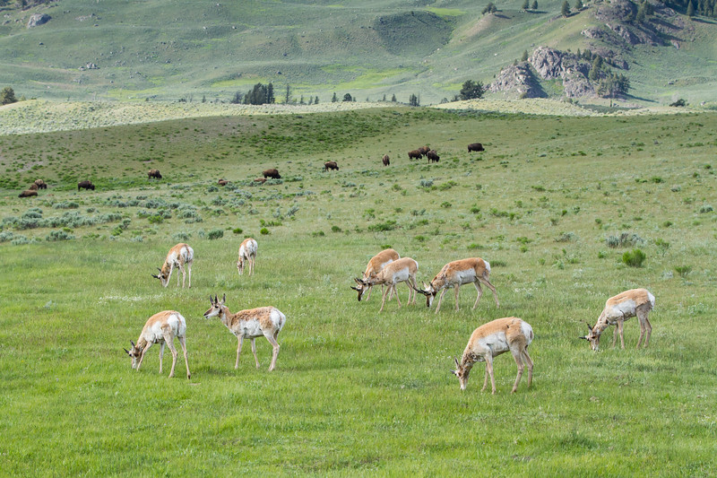 Pronghorn Antelope and Bison<br /> Lamar Valley, Yellowstone National Park, Wyoming