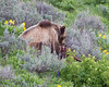 Grizzly bear<br /> Antelope Creek area Yellowstone National Park Wyoming