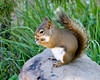 Red squirrel<br /> Sheepeater Cliffs, Yellowstone National Park Wyoming