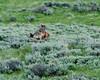 Wolf Kill <br /> Wolf Kill, Antelope Creek, Yellowstone National Park, Wyoming