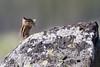 Least Chipmunk eating dandelion<br /> Antelope Creek area Yellowstone National Park Wyoming