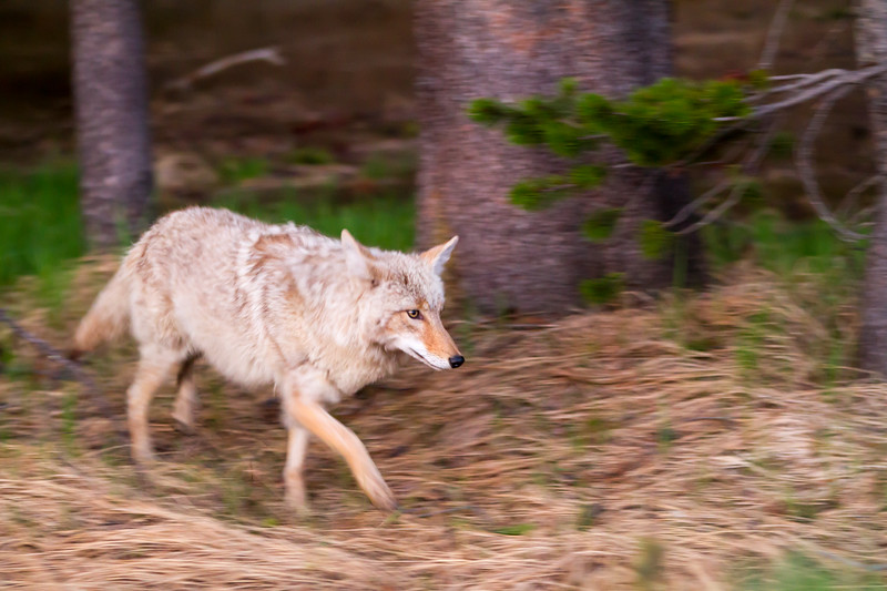 Morning Prowl<br /> Coyote Yellowstone National Park Wyoming