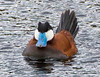 Ruddy Duck Male<br /> Ruddy Duck Male, Yellowstone NP, WY