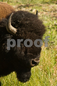 A young buffalo in the Lamar Valley of Yellowstone National Park poses for a portrait.