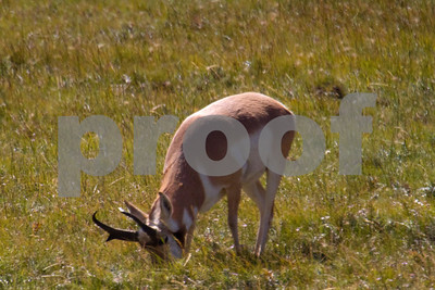 Despite popular belief, Pronghorn are not truly antelope.  They can be seen all across the Western US and Southern Canada.  This one was in a small herd of 3 in Lamar Valley in Yellowstone National Park.