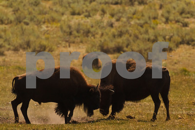 Two male Buffalo butt heads in a contest of dominance in the Lamar Valley of Yellowstone National Park
