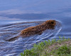 Beaver<br /> Yellowstone River, Yellowstone National Park, Wyoming