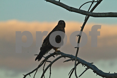 Hawk on a tree branch near Mud Volcano and Yellowstone River in Hayden Valley of Yellowstone National Park.