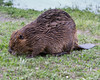 Beaver<br /> Yellowstone River, Yellowstone National Park, Wyoming