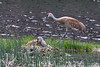 Sandhill Cranes on nest<br /> Floating Island Lake, Yellowstone National Park Wyoming