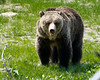 Grizzly bear<br /> Yellowstone National Park, Wyoming