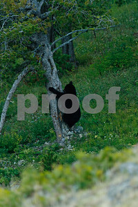 A mother black bear comes down from foraging in a tree near the top of Mt. Washburn in Yellowstone National Park.  Her two cubs are near-by.